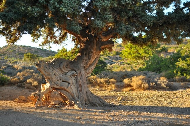 oudste boom ter wereld